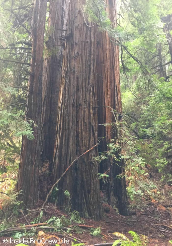 Seven Places to Visit in San Francisco - the redwoods in Muir Woods are an impressive sight to see.