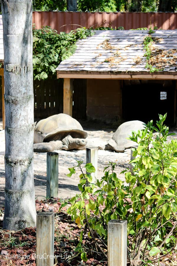 Sarasota Jungle Gardens - see different tropical plants and animals like these Galapagos turtles in this Florida attraction. #travel #tropical #jungle #gardens #flamingos #florida #family #floridaattractions