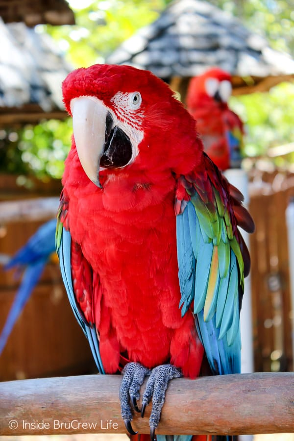 Sarasota Jungle Gardens - enjoy seeing and listening to the parrots and macaws in this nature park. You will also have an opportunity to have one of the gorgeous birds sit on your arm. #travel #tropical #jungle #gardens #flamingos #florida #family #floridaattractions