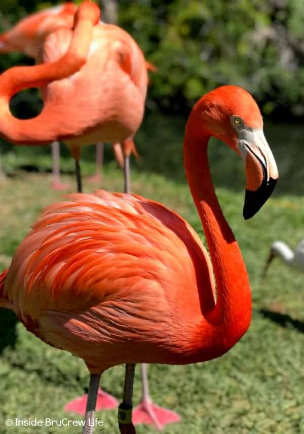 Sarasota Jungle Gardens - get up close and personal with the flamingos in this Florida nature park. These beautiful birds will eat the food right from your hands. #travel #tropical #jungle #gardens #flamingos #florida #family #floridaattractions