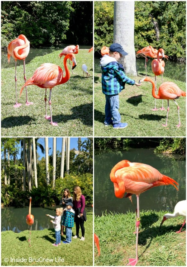 Sarasota Jungle Gardens - see and feed flamingos up close and personal in this fun tropical Florida nature park. #travel #tropical #jungle #gardens #flamingos #florida #family #floridaattractions