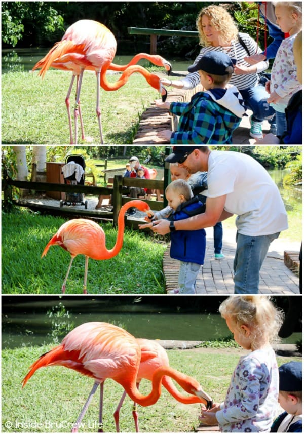 Sarasota Jungle Gardens - feed the flamingos that walk about freely in this Florida nature park. #travel #tropical #jungle #gardens #flamingos #florida #family #floridaattractions