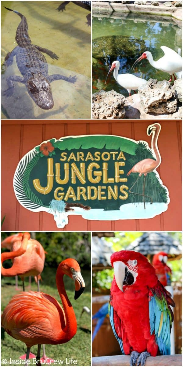 Sarasota Jungle Gardens - a tropical attraction located in Sarasota, Florida featuring many exotic plants and animals. Visit here with your family for a fun filled day! #travel #tropical #jungle #gardens #flamingos #florida #family #floridaattractions