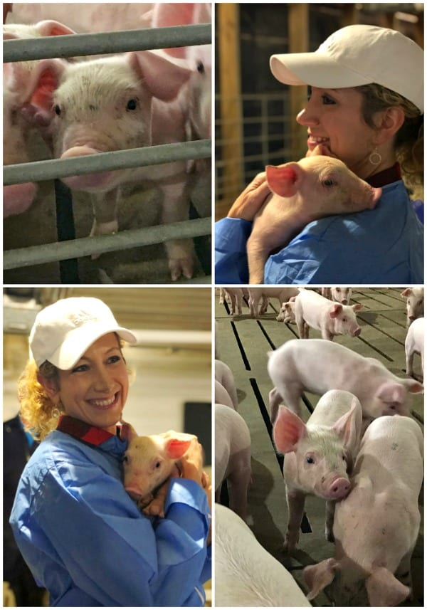 Four pictures collaged together of an indoor pig farm