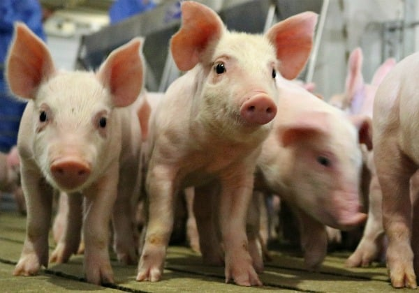 A group of baby pigs in an indoor farming facility
