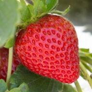 12 Reasons to love CA Strawberries Tour in Pismo Beach, California